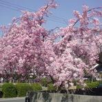 いろりの枝垂桜でお花見はいかがですか?