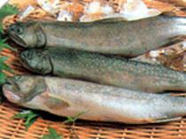 釣り上げたばかりの天然岩魚