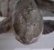 希少な魚、狐幻魚(きつねげんげ)。刺身で食べられるのは当店だけ!