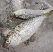 白身の中では一番旨味が強く、美味しい。味わい深い魚のひとつ。