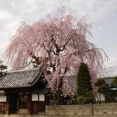 桜の時期に賑わう増泉寺近く。キャベツたっぷりソースかつ丼を