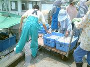 獲れた魚は地元の旅館や料理屋をはじめ、全国に出荷され舞阪産の高級魚として高い評判を呼んでいる。