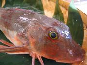 晩秋から冬にかけては産卵期にあたり身がやや柔らかく、漁獲量がとても少ない。