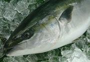 初夏、最北の漁場で限定的に小型船だけでのサンマ漁は始まる。この時期のサンマは値段も驚くほど高くなる。