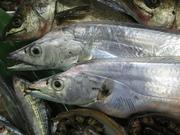 いちばん脂ののった時期に漁獲されたものが、佐渡ブリ、能登ブリ、富山湾に入ったものが氷見ブリである。