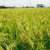 新大正米を自家水田で作っております