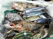 ワカメ漁でお休みしていた普代産の魚たちも 入荷再開しました。 美味しく召し上がれます。