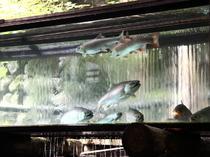 2階のお座敷では1階のヤマメのいけすを見ながらお食事ができます