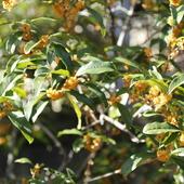 キンモクセイの垣根から秋の香りが漂ってきます。