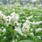 白い可憐な花が咲いている蕎麦畑。収穫は10月です
