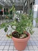 ミニトマト育ててます