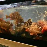 カウンター席目の前の大きないけすには明石で水揚げされた旬の魚が悠々と泳ぐ。水槽で泳ぐ魚を取り出し調理するので常に新鮮です。お造りはもちろん、煮物や揚物など多彩な料理で楽しめお酒との相性もばっちりです。