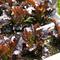 屋上菜園で育てたれた「西麻布産」のフレッシュ野菜