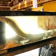 店内には生簀があり、獲れたての活魚料理を楽しむこともできます。また、1日に3回、朝・昼・夜の時間帯に分け、金沢港や能登七尾港・宇出津港から直接、魚を仕入れているので鮮度は抜群です!