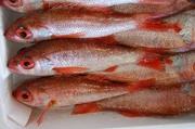 サイズと鮮度へのこだわり 高級魚、心を込めて調理します。