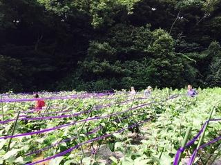 三浦半島、(有)八百辰さまの畑でつくられる三浦野菜
