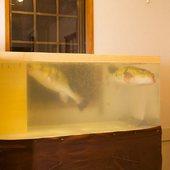 生け簀を悠悠と泳ぐふぐの姿。視覚からゲストを楽しませる