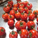 よしよし畑さんのトマト