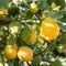 レモンは国産!広島産や愛媛産を使用しています!