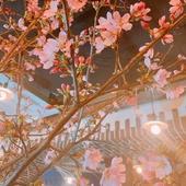 桜を囲みながらの門出・歓迎を